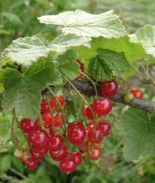 Английско грозде