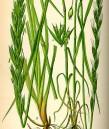 Упоително жито
