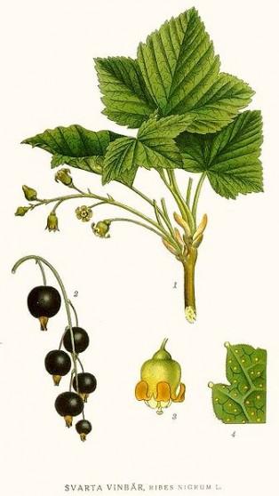 Черно френско грозде