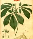 Човек корен