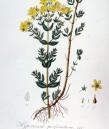 Жълт кантарион