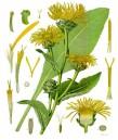 Жълт оман