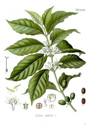 Кафено дърво