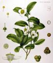 Китайски чай