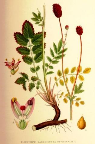 Магарешки ягоди