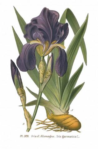 Манастирско цвете