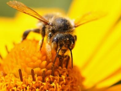 Как да постъпим ако ви ужили пчела