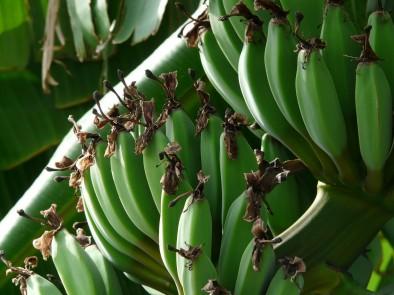 Зелените банани още по-полезни