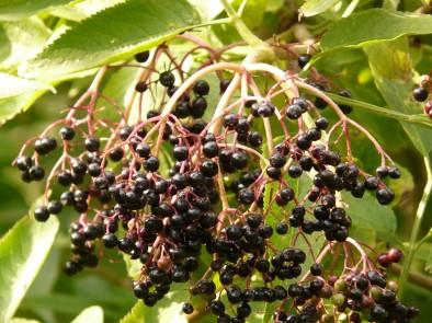 Уникална рецепта с плодове от бъз за лечение на рак