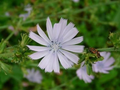 Цикория (синя жлъчка) – лечебната сила на синьото цвете