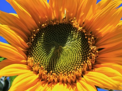 Скритите ползи за здравето на слънчогледовото семе