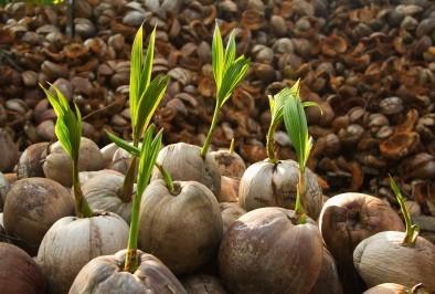 Разнообразните здравословни ползи на кокосовото масло