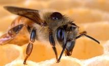 Пчелно млечице – уникални ползи за здравето ни