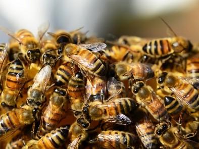 Пчелна отрова – натурален продукт с редица ползи за здравето
