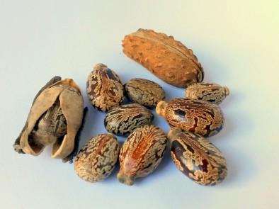 7 страхотни здравословни ползи на рициновите семена (рициново масло)