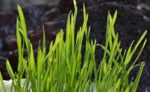 Пшенична трева – какво знаем за нея и как да я използваме