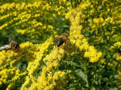 Златна пръчица – билката с редица ползи за здравето ни