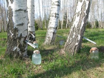 Брезова вода – с какво е полезна за здравето ни