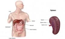 Характерни симптоми при здравословни проблеми с далака (слезката)