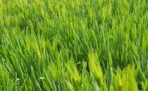 Ечемичена трева – защо трябва да я включим в диетата си и с какво е полезна