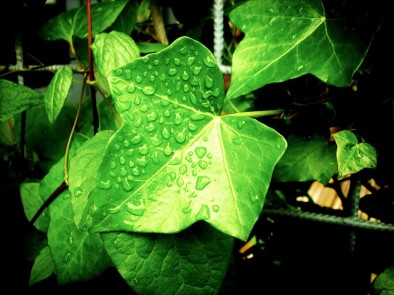 Ivy – health benefits
