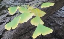 Гинко билоба – лечебни свойства пренесени през вековете