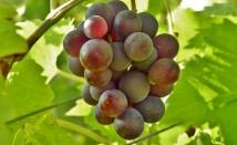 Ефективност на маслото от гроздови семки срещу сърдечно-съдови заболявания и диабет
