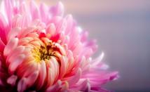 Отвара от хризантеми – ползи за здравето ни