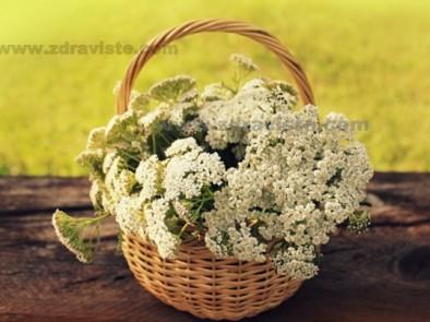 Бял равнец – лечебни свойства и рецепти
